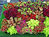 Seeds Rare Coleus Flowers Perennial Handing Garden Organic Beautiful Ukraine Photo, best price $6.99 new 2019