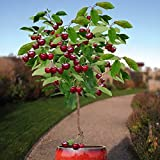 10 Seeds Dwarf Cherry Tree Self-Fertile Fruit Tree Indoor/Outdoor Photo, best price $1.26 new 2019