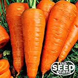 Danvers Half Long Carrot Seeds - 1000 SEEDS NON-GMO Photo, best price $1.95 new 2019