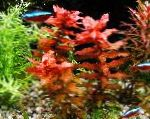 Giant Red Rotala characteristics and care