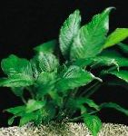 Anubias congensis Photo and characteristics