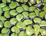 Salvinia auriculata Photo and characteristics