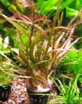 Cryptocoryne retrospiralis characteristics and care
