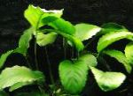 Broad Leaved Anubias