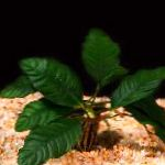 Anubias coffeefolia Photo and characteristics
