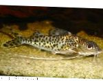 Pictus Catfish care and characteristics