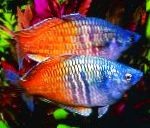 Boesemans Rainbowfish care and characteristics