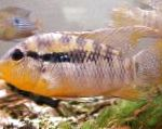 Banded Acara care and characteristics