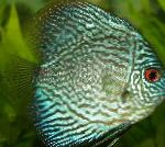 Blue Discus care and characteristics