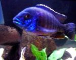 Blue Peacock Cichlid care and characteristics