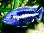 Melanochromis chipokae care and characteristics