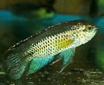 Golden Dwarf Cichlid care and characteristics