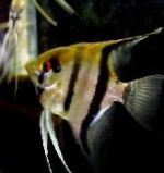 Angelfish scalare care and characteristics