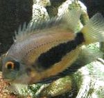 Uaru Cichlid care and characteristics