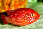 Red Jewel Cichlid characteristics and care