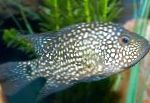 Texas Cichlid care and characteristics