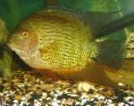 Severum care and characteristics