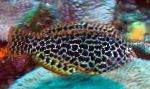 Marine Fish (Sea Water) Leopard wrasse Photo