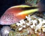 Marine Fish (Sea Water) Freckled hawkfish Photo