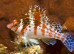 Marine Fish (Sea Water) Dwarf (Falco) hawkfish Photo