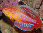 Marine Fish (Sea Water) Filamented flasher-wrasse Photo