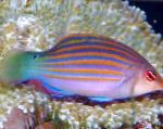 Marine Fish (Sea Water) Six-line Wrasse Photo