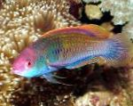 Marine Fish (Sea Water) Blue-scaled fairy-wrasse Photo
