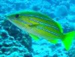 Bluestripe snapper characteristics and care