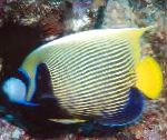 Marine Fish (Sea Water) Emperor Angelfish Photo