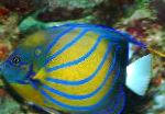 Marine Fish (Sea Water) Annularis Angelfish Photo