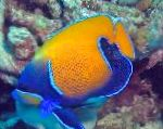 Marine Fish (Sea Water) Blue Girdled Angelfish Photo