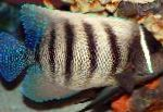 Marine Fish (Sea Water) Six Bar Angelfish Photo