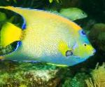 Marine Fish (Sea Water) Queen Angelfish Photo