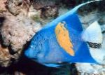 Marine Fish (Sea Water) Maculosus Angelfish Photo