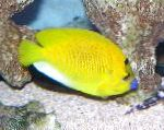 Marine Fish (Sea Water) Flagfin Angelfish Photo