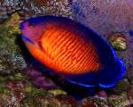 Marine Fish (Sea Water) Coral Beauty Angelfish Photo