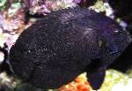 Black Nox Angelfish, Midnight Angelfish care and characteristics