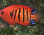 Flame Angelfish characteristics and care