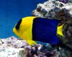 Bicolor Angelfish care and characteristics