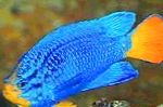 Blue Damselfish care and characteristics