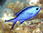 Chromis characteristics and care
