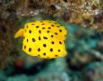 Cubicus Boxfish care and characteristics