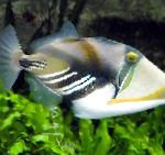 Humu Picasso Triggerfish care and characteristics