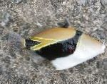 Humu Rectangle Triggerfish care and characteristics