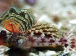 Scooter Blenny care and characteristics