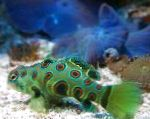 Spotted Green Mandarin Fish care and characteristics