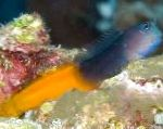 Bicolor Blenny care and characteristics