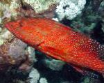 Miniatus Grouper, Coral Grouper characteristics and care