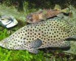 Panther Grouper care and characteristics
