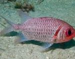 Doubletooth Soldierfish characteristics and care